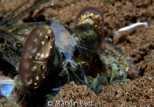 Mantis Shrimp with friend by Marylin Batt 